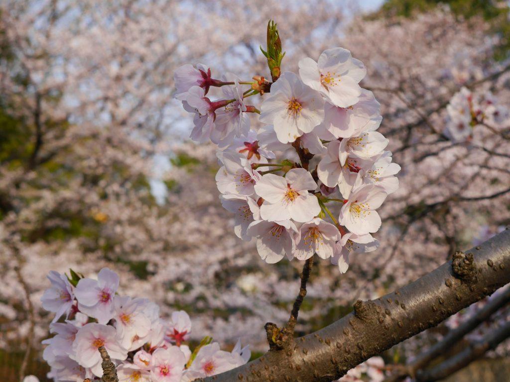 上野公園でお花見をしました
