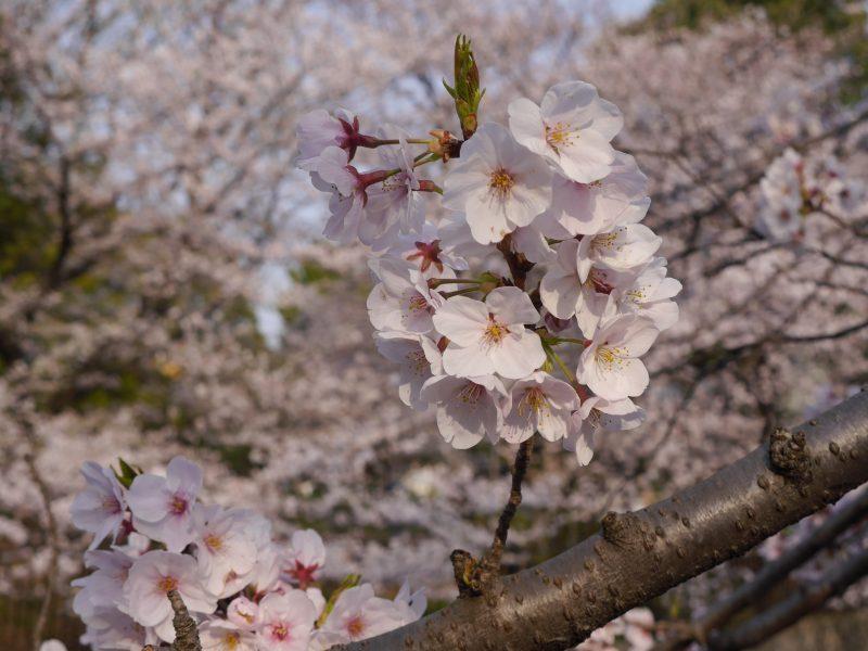 桜の季節になりました